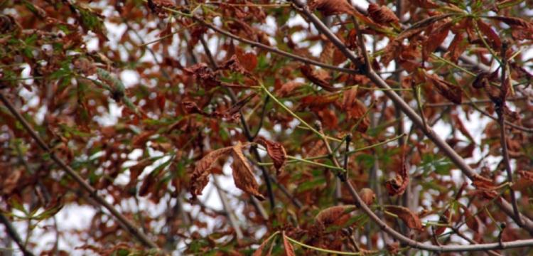 Contre la mineuse du marronnier, ramassez vos feuilles !